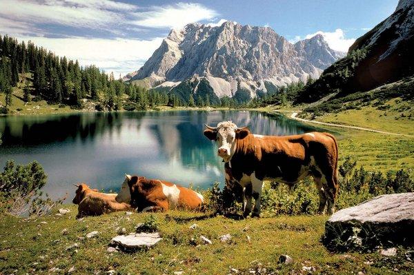 Kühe am Seebensee